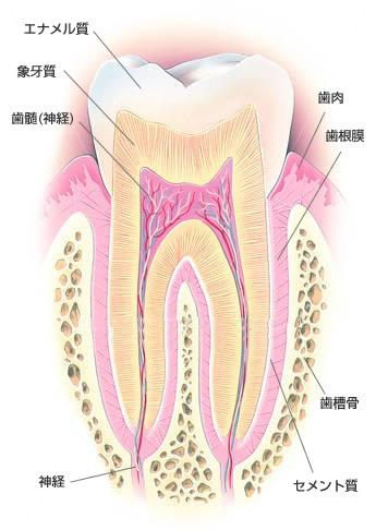 歯の仕組み.jpg